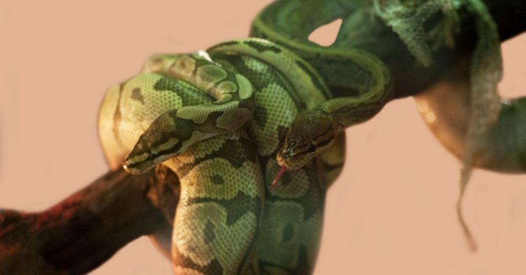 can ball pythons live together