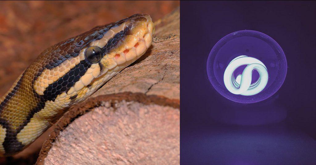 do ball pythons need uvb