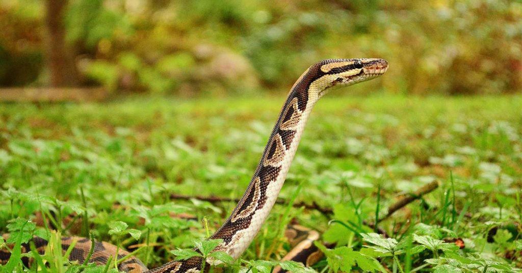 Can I Take My Ball Python Out in Public
