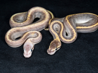 can a male and female ball pythons be housed together