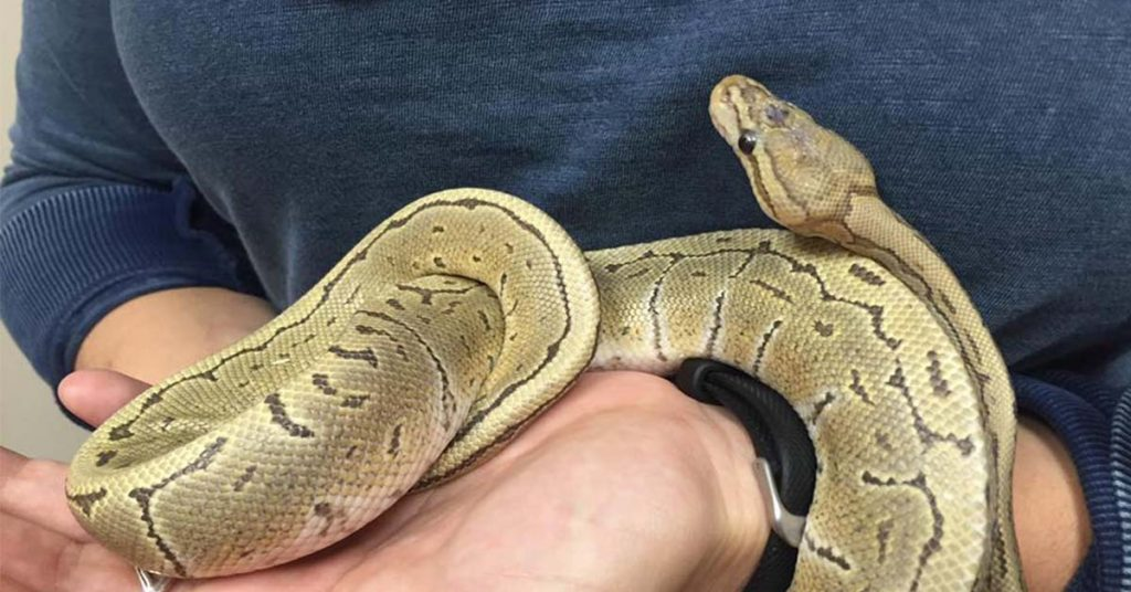 Using A Carrier to Take Ball Python Out