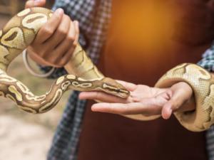 how to handle a ball python