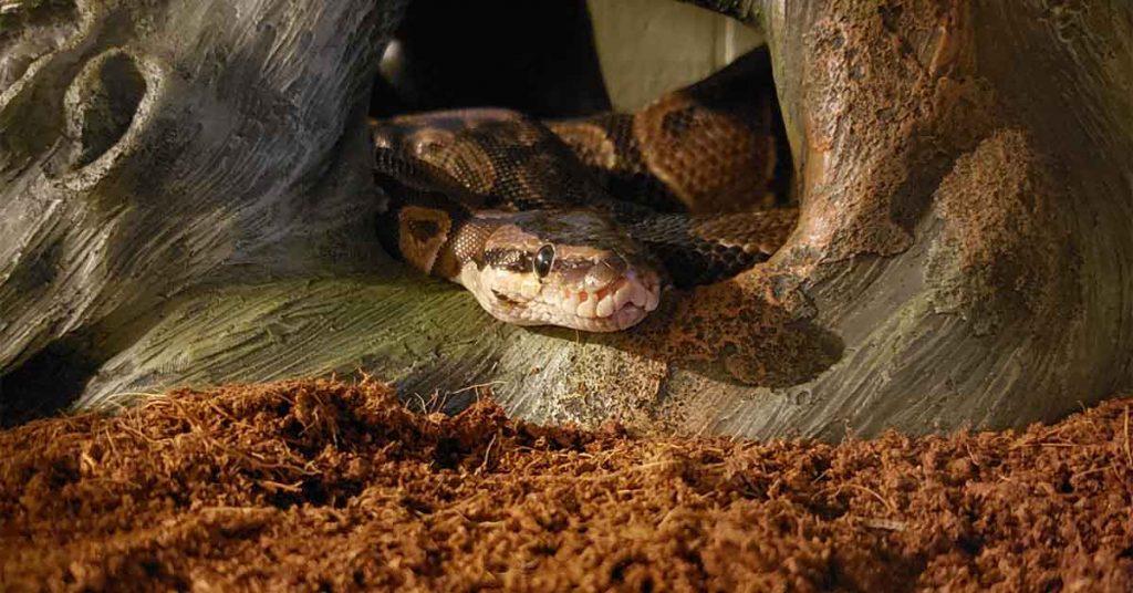 sick ball python