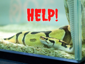 signs of ball python dying