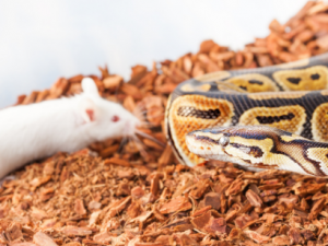How often to Feed Ball Python