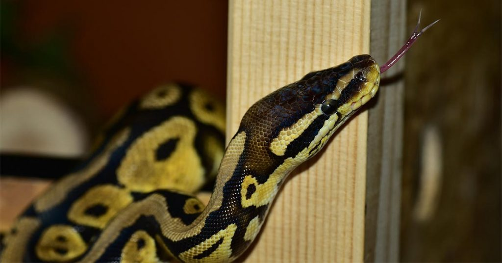 How to Find an Escaped Ball Python