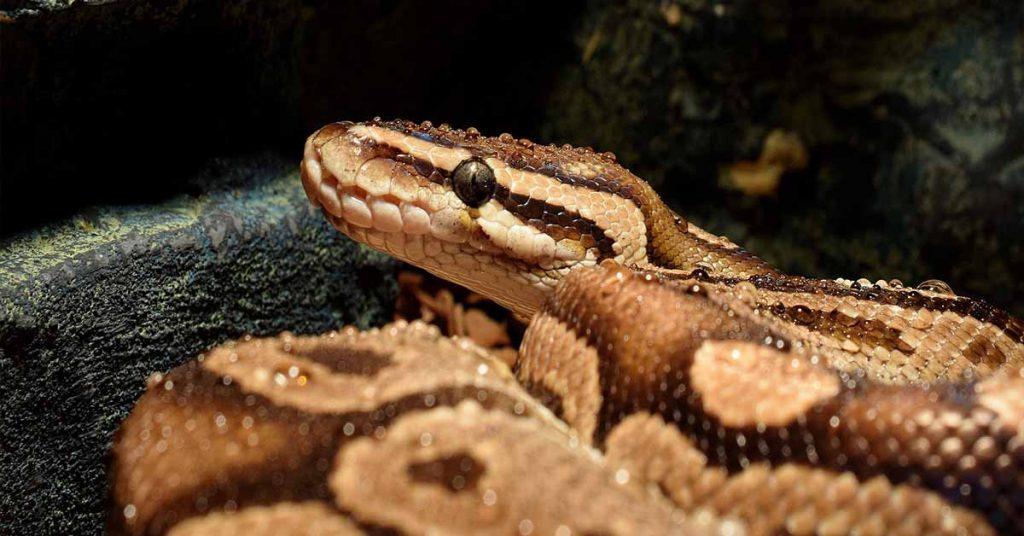 ball python humidity too low