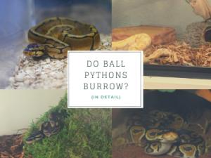 do ball pythons burrow