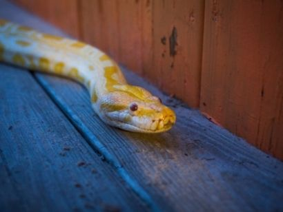 how do i find a lost ball python