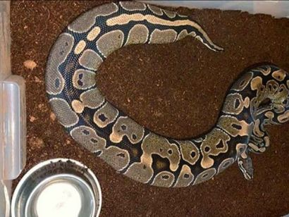 how to feed a ball python