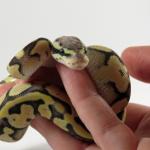 ball python wheezing