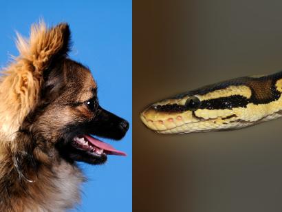 can a ball python kill a chihuahua